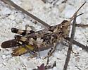 Grasshopper IMG_9400 - Chortophaga viridifasciata - male
