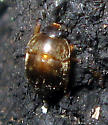 Sap-feeding Beetle - Amphicrossus ciliatus