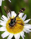 Wasp mimic fly - Dioprosopa clavata - male