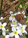 Tiny brown butterfly - Callophrys niphon
