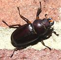 large beetle - Lucanus capreolus