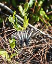 Lemon Bay Park - Eurytides marcellus