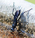 Twitchy Blue Wasp  - Chalybion californicum