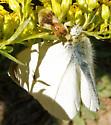 Jagged Ambush Bug with prey - Phymata americana