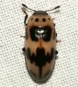 Erotylidae - Ischyrus quadripunctatus