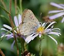 Lycaena species - Lycaena editha