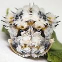 Chelymorpha (cassidea?) life cycle - Chelymorpha