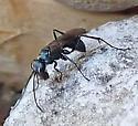 wasp, stealing mud? from Trypoxylon nest - Auplopus - female