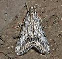 Silver moth - Cornifrons actualis