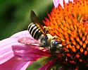 Megachile [pugnata?] ID Request - Megachile pugnata