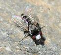 Miltogramminae - Sphenometopa tergata - male