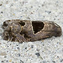 Brighton's Epiblema Moth - Hodges#3203 - Epiblema brightonana