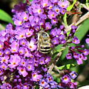 b/w bee - Anthophora urbana