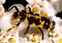 Ladybird Beetle Larva - Coleomegilla maculata