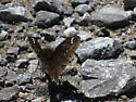 Juvenal's Duskywing or Common Sootywing?? - Erynnis lucilius