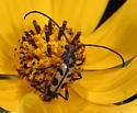Six-spotted Flower Strangalia - Strangalia sexnotata - female
