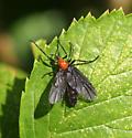 March Fly - Plecia nearctica