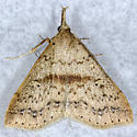 Speckled Renia Moth - Renia salusalis - female