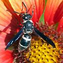 Wasp on a blanket flower - Euodynerus megaera