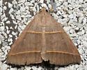 owlet - Ptichodis herbarum