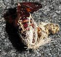 Edwards' Wasp Moth pupa - Lymire edwardsii