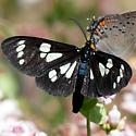 Gnophaela latipennis - male