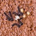 Unknown caterpillars - Gloveria