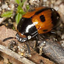 Beetle IMG_4728 - Diaperis maculata