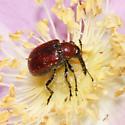Red weevil - Merhynchites