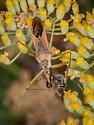 Leaf-hopper Assassin Bug - Zelus renardii - Eating a Hylaeus Bee? - Zelus renardii