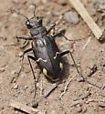 Boreal Long-lipped Tiger Beetle_Cicindela longilabris - Cicindela