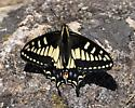 Anise Swallowtail- Papilio zelicaon - Papilio zelicaon