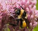 type of bumblebee? - Bombus ternarius