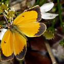 Winter Sleepy Orange - Abaeis nicippe - female