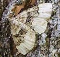 Moth - Xanthorhoe lacustrata