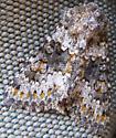 Lacinipolia cuneata - Hecatera dysodea