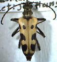 Evodinus monticola (Randall) - Evodinus monticola