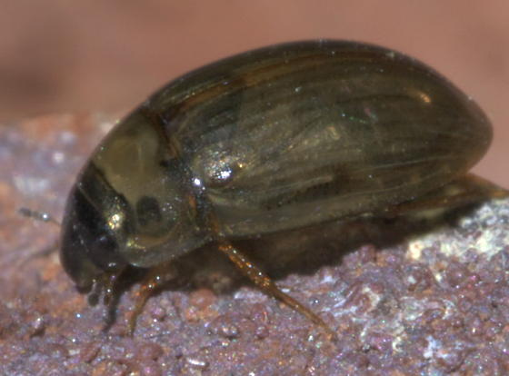 Small, shiny, brown beetle - Enochrus