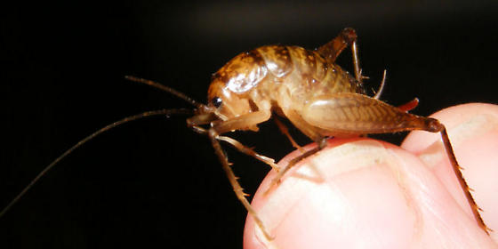 Some kind of Cricket - Ceuthophilus brevipes - female