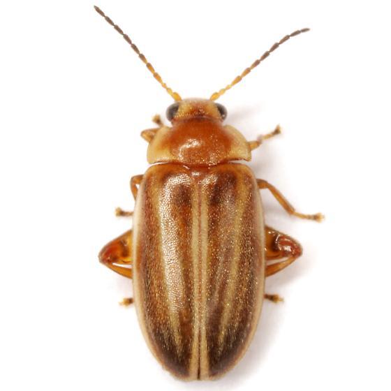 Scirtes oblongus Guérin-Méneville - Scirtes oblongus