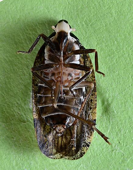 Cixiid Planthopper? - Cixidia brittoni