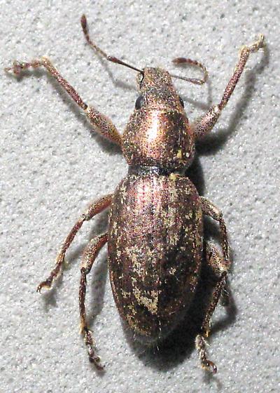 Bronze weevil - Pseudorimus orbicollis