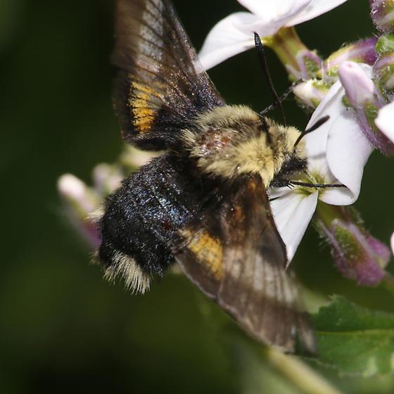 Proserpinus flavofasciata