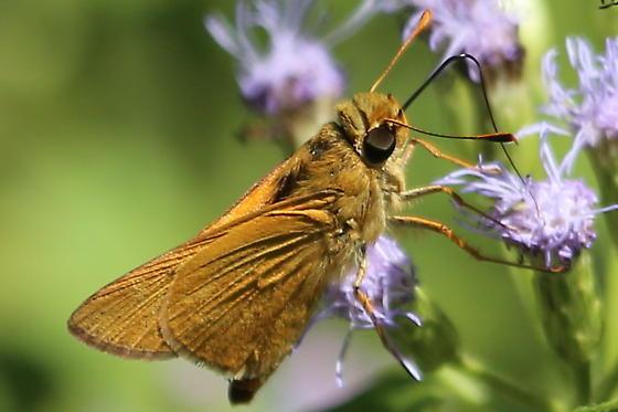 Butterfly - Quasimellana eulogius
