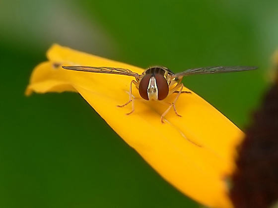 Could it be Toxomerus geminatus? - Toxomerus geminatus - female