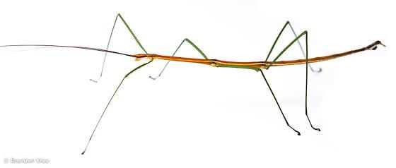 Manomera brachypyga - male
