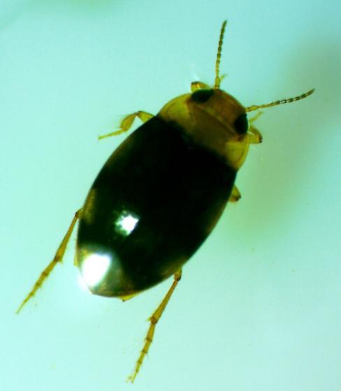 Water Beetle  - Liodessus