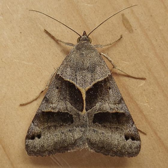 Erebidae: Caenurgina erechtea - Caenurgina erechtea - male