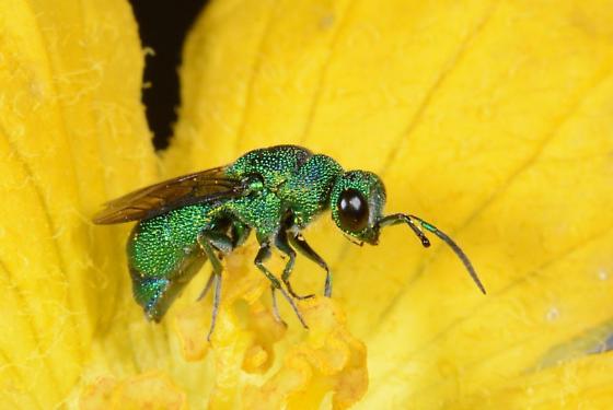 Sweat bee on Luffa flower