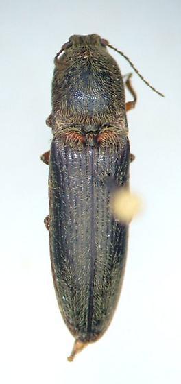 Clicker - Limonius griseus - male
